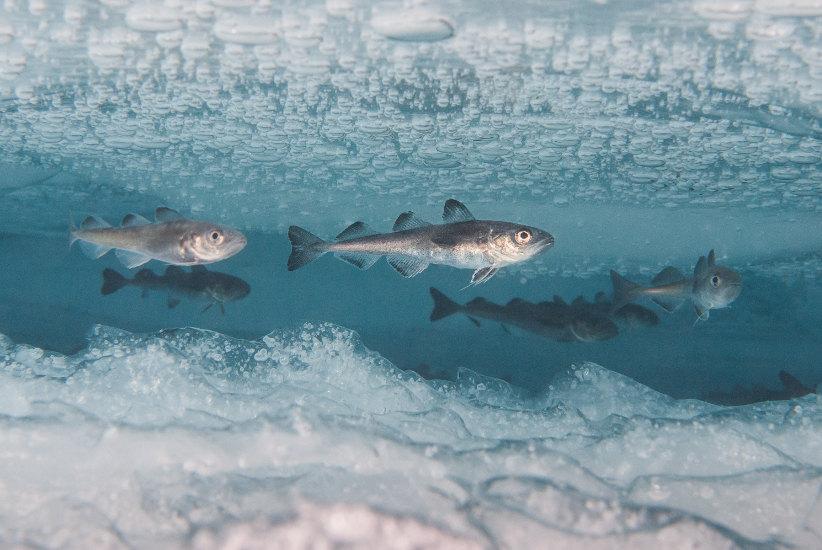 El bacalo polar (Boreogadus saida), encuentra refugio bajo el hielo. © P. Leopold