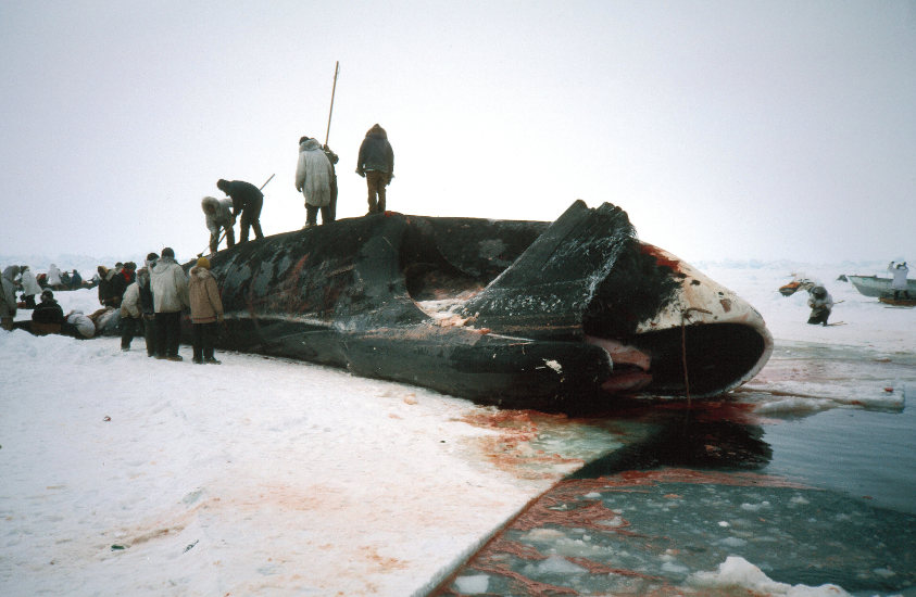 Captura de una ballena boreal. © B.P. Kelly