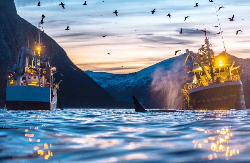 Barcos de pesca del norte de Noruega compiten con ballenas hambrientas por los recursos. © A. Rikardsen
